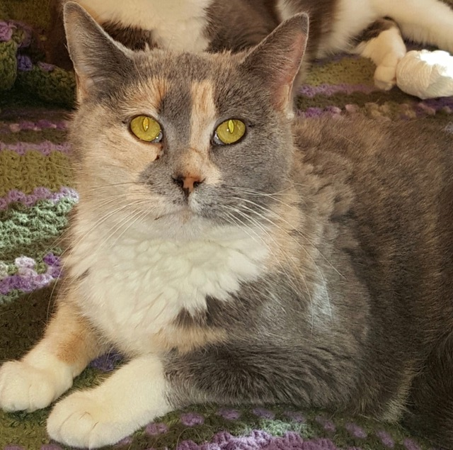 Dixie The 4 Paw Declawed Cat That Was Saved From Being Euthanized City The Kitty Official